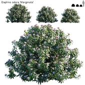 Daphne Odora | Marginata