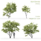 Ginnala Maple | Acer Ginnala # 1