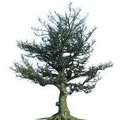 Tim Burton Style Oak