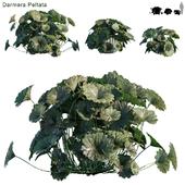 Darmera Peltata | Indian Rhubarb | Umbrella Plant