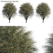 Casuarina Equisetifolia round bush