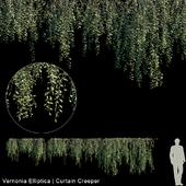 Vernonia Elliptica | Curtain creeper | 10 module