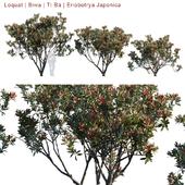 Loquat | Biwa | Eriobotrya Japonica V2