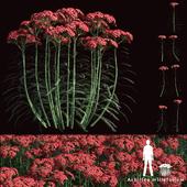 Yarrow flowers | Achillea millefolium