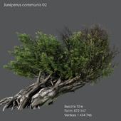 Juniper ordinary 02