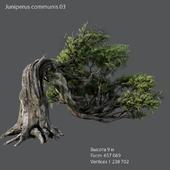 Common juniper 03
