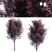 Spread spread 2 trees | Prunus pissardii
