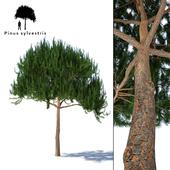 Common Pine | Pinus sylvestris