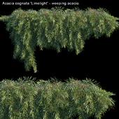 Acacia cognata Limelight - Weeping Acacia