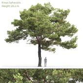 Сосна обыкновенная | Pinus sylvestris #20 (12.2m)