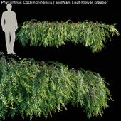 Phyllanthus Cochinchinensis | VietNam Leaf-Flower creeper