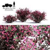 Вейгела цветущая 3 куста | Weigela florida Alexandra