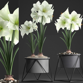 Collection of plants 310. Hippeastrum.