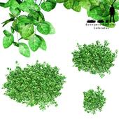 Forchun's euonymus bush | Euonymus Fortunei Coloratus