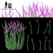 Дербенник иволистный цветы | Lythrum salicaria