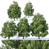 Pinus sylvestris Nr3. H3-6m V2. Five tree set