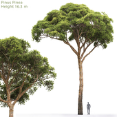 Сосна Итальянская Пиния | Pinus Pinea #2(16.3m)