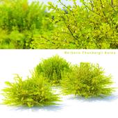 Barberry Thunberg Aurea bushes | Berberis thunbergii aurea