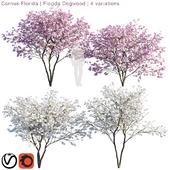 Cornus florida   Florida Dogwood   4 variations