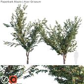 Paperbark Maple   Acer griseum