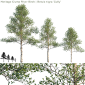 "Heritage Clump River Birch   Betula nigra ""Cully"" # 1"