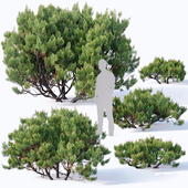Pinus mugo #2. H60-260 cm