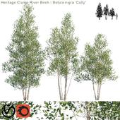 "Heritage Clump River Birch   Betula nigra ""Cully"" # 2"