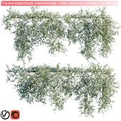 Trachelospermum Jasminoides   Star Jasmine creeper   6 module