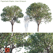 Paperbark Maple   Acer Griseum # 2