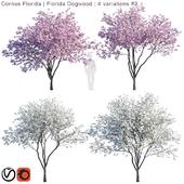 Cornus florida   Florida Dogwood   4 variations # 2