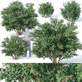 Physocarpus Opulifolius # 1 Five sizes H80-260 cm
