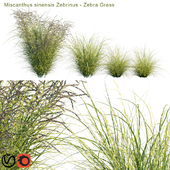 Miscanthus sinensis Zebrinus | Zebra Grass