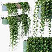 Balcony ivy