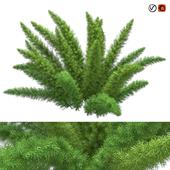 Asparagus Densiflorus Meyersii