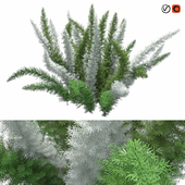 Asparagus Densiflorus Meyersii W