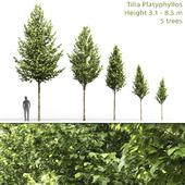 Липа крупнолистная | Tilia platyphyllos #1 (3.1-8.5m)