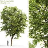 Липа крупнолистная | Tilia platyphyllos #5 (14m)