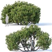 Pinus mugo #3. H380 cm. Five tree modular set