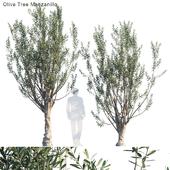 Olive tree manzanillo