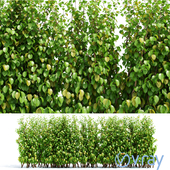 Живая изгородь - Hedge
