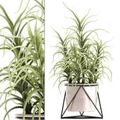 Aloe arborescens 4