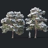 Pinus sylvestris # 7 H7-8,5m Two tree set