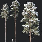 Pinus sylvestris # 8 H22-24m Two tree set