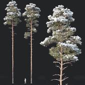 Pinus sylvestris Nr9. H25, 26m. Winter Five tree set