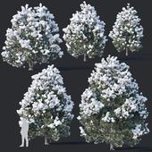 Pinus sylvestris Nr10 H3.3-6.5m Winter Five tree set