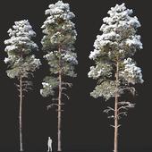 Pinus sylvestris Nr14 H16, 18m. Two winter trees
