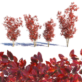 Amelanchier red