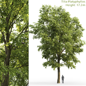 Large-leaved linden | Tilia platyphyllos # 6 (17.2m)