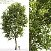 Large-leaved linden | Tilia platyphyllos # 7 (18m)