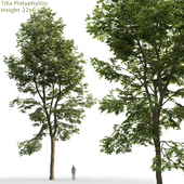 Large-leaved linden | Tilia platyphyllos # 8 (22m)